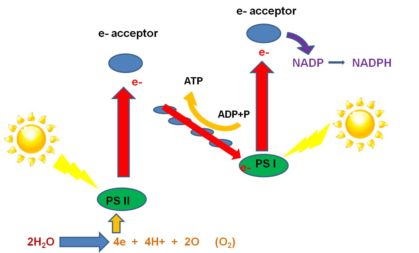 light reaction in photosythesis As the name suggests, the light-dependant reaction depends on sunlight to carry out photosynthesis here, it traps solar energy and uses it to generate atp and nadph.