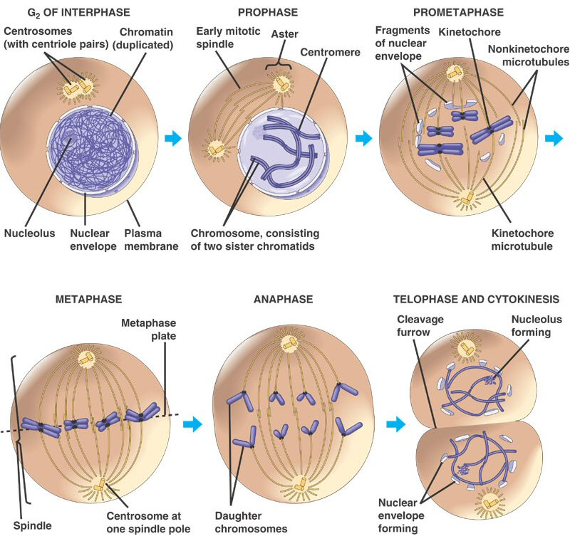 A step-by-step diagram of mitosis, showing how amoeba reproduce