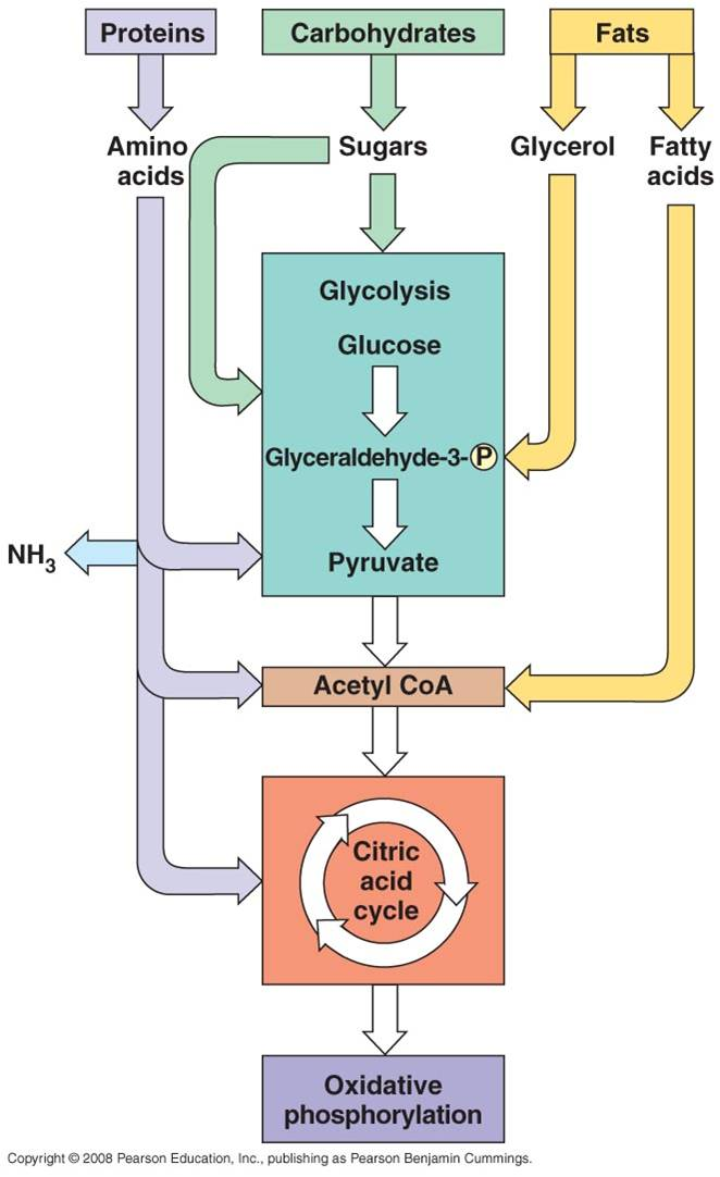 Ananbolisme dan katabolisme lemak, karbohidrat, dan protein