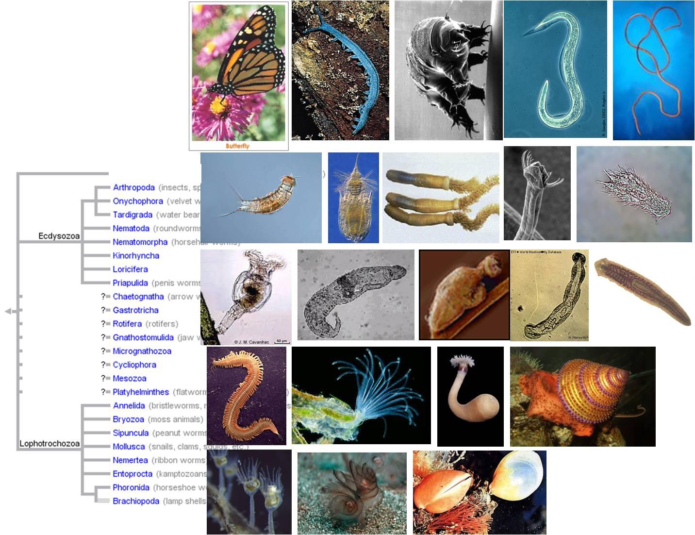 ecdysozoans platyhelminthes)